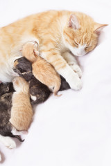 red cat with kittens