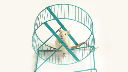 Curious Rat on Exercise Wheel