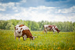 Cows In A Field - 81533129