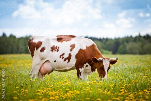 Foto op Plexiglas Koe Cow In A Field