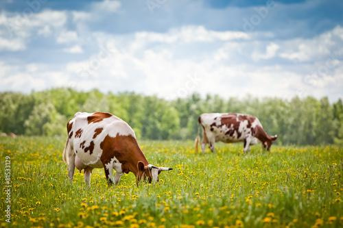 Deurstickers Koe Cows In A Field