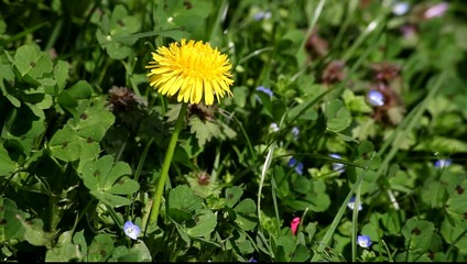 Dandelion flower upon green grass at spring