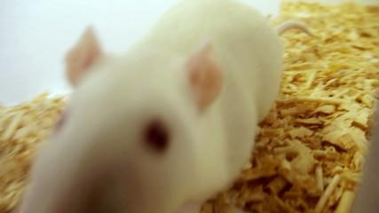 Maze White Rat Sequence