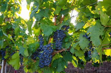 Beautiful landscape in the Eger grapes - Hungary