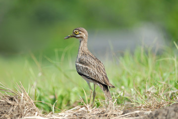 Ugly bird stand on green background ,Indian Thick-Knee