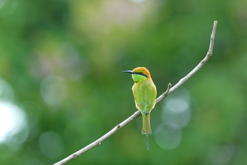 Beautiful green bird on best perch (Little Green Bee-eater)