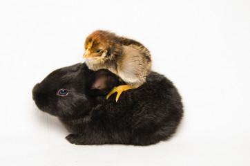 Pulcino sopra ad un coniglietto