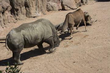 battaglia con rinoceronte