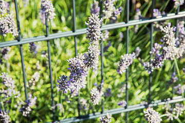 Lavender flowers and grid in the garden