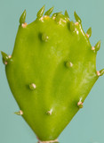 young appendage cactus poster