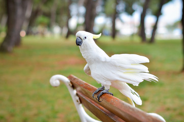 White Parrot - Sulphur-crested cockatoo - Cacatua galerita on a