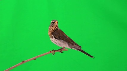 thrush (Turdus pilaris) on green screen