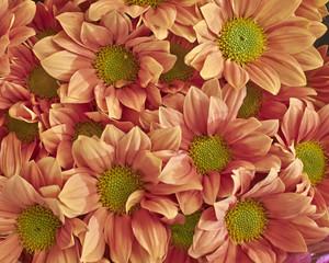 colorful chrysanthemum flowers closeup