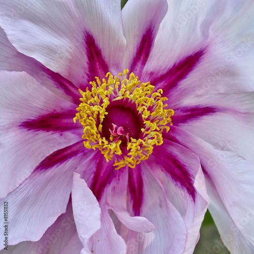 Fototapeta vibrant pink peony flower closeup