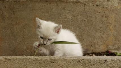 Kitten Fighting Grass Stalk