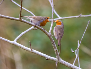 Adult male robin feeding the female during courtship