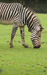Grazing Zebra 9578
