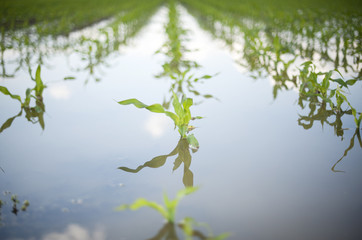 Corn field under the water
