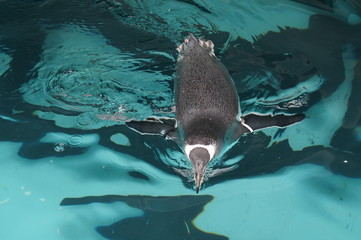 penguin swimming in blue pool