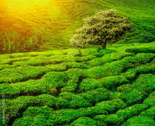 tea plantations sunset