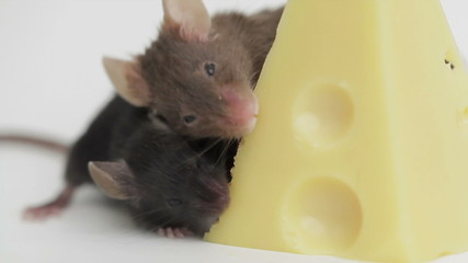 Two mouses with a slice of swiss cheese