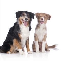 Two australian shepherd dogs - mother and daughter