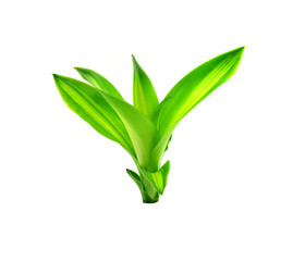 Green leaf  Cornstalk Plant on white background