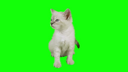 Cat Sitting Green Screen