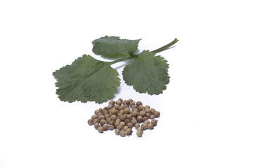 Coriander with seeds isolated on white background