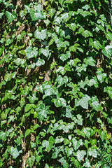 English ivy hedera helix climbing on an old tree trunk