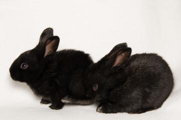 Coniglietti neri gemelli