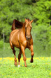 obraz - Golden red horse r...
