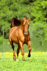 Golden red horse runs trot free in summer time