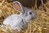 Fototapety Rabbit on Dry Grass
