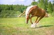 Zdjęcia na płótnie, fototapety, obrazy : Red horse plays in summer time