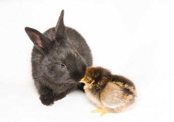 Bacio tra un coniglio ed un pulcino