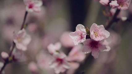 Beautiful Pink Blossoming Peach Flowers on Tree Branch in Spring