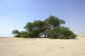 bahrein arbre du désert