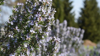 Rosemary plant with flowers