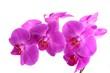 Closeup shot of pink orchid on white background