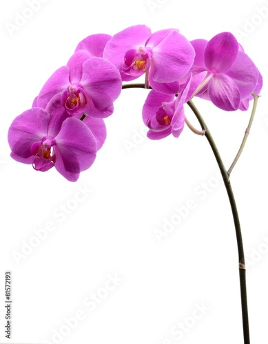 Fotobehang Orchidee Pink orchid with long stalk isolated on white