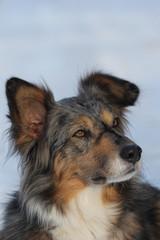 Australian Sheperd, Portrait