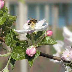 bee on a flower apple trees