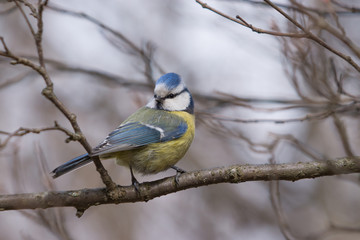 Blue Tit sitting on a branch and looking to the side.