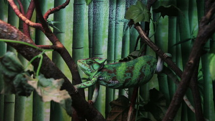 chameleon climbing on the tree