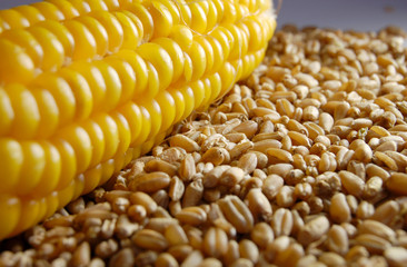 corn wheat