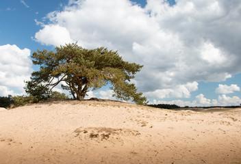 Eenzame boom op zandduin Kootwijkerzand