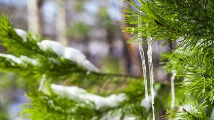 Icicles on tree