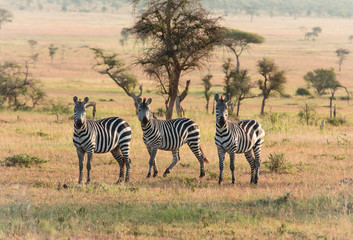 Zebras on the african savannah