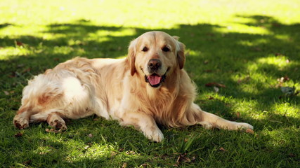 Cute labrador lying on the grass